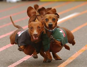 Thanks to Rocket, I totally want to go watch a Wiener dog race now!